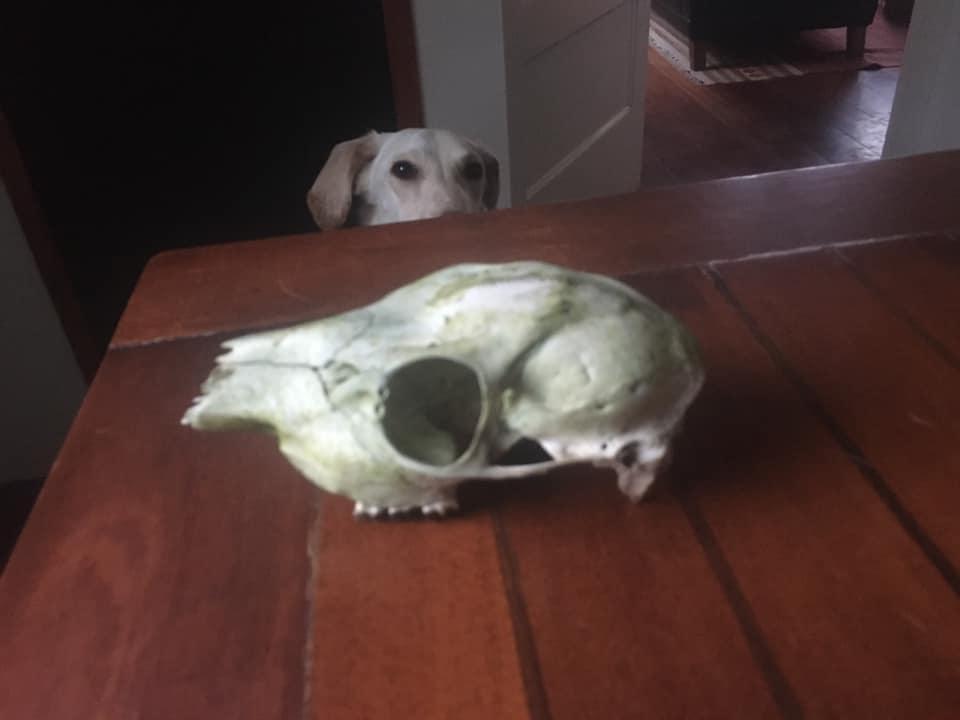 Valantino and the skull
